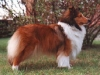 ladymagic-sheltie-morgan